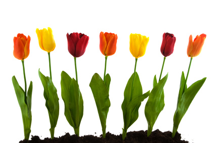 A row with colorful silk tulips