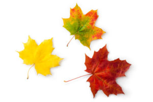 Three maple autumnal leaves. Topview.