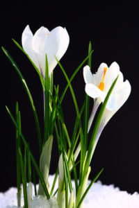 Spring flowers on a black background